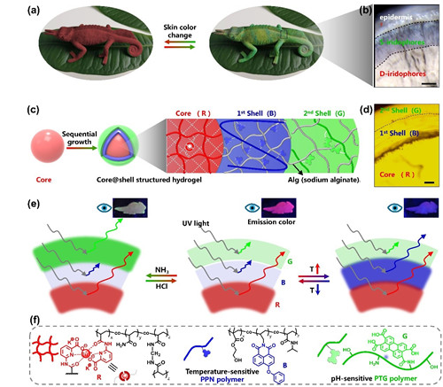 Figure 1 The structure of a bionic core-shell fluorescent polymer hydrogel inspired by chameleon skin and its intelligent multicolor fluorescence regulation